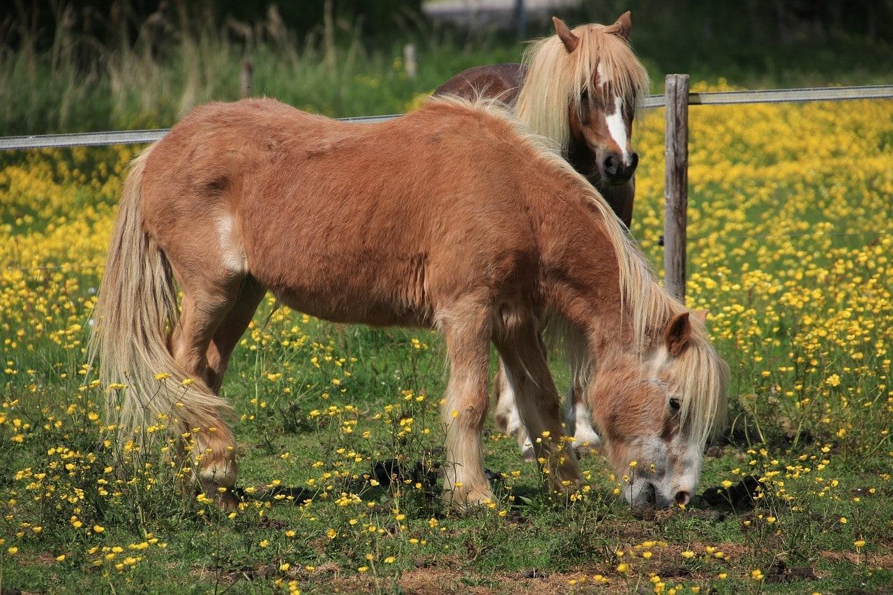 equine pony