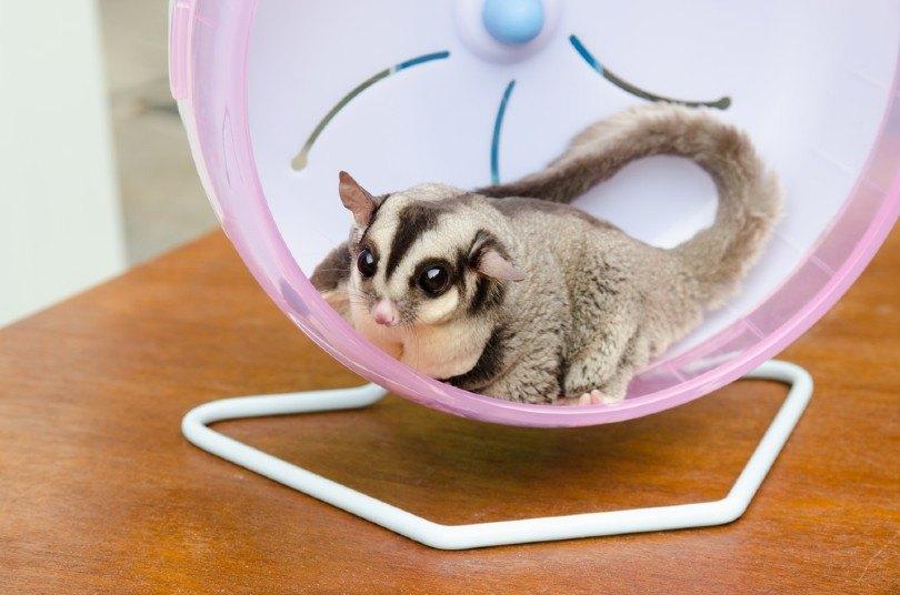 sugar glider exercise_Monkeyoum, Shutterstock
