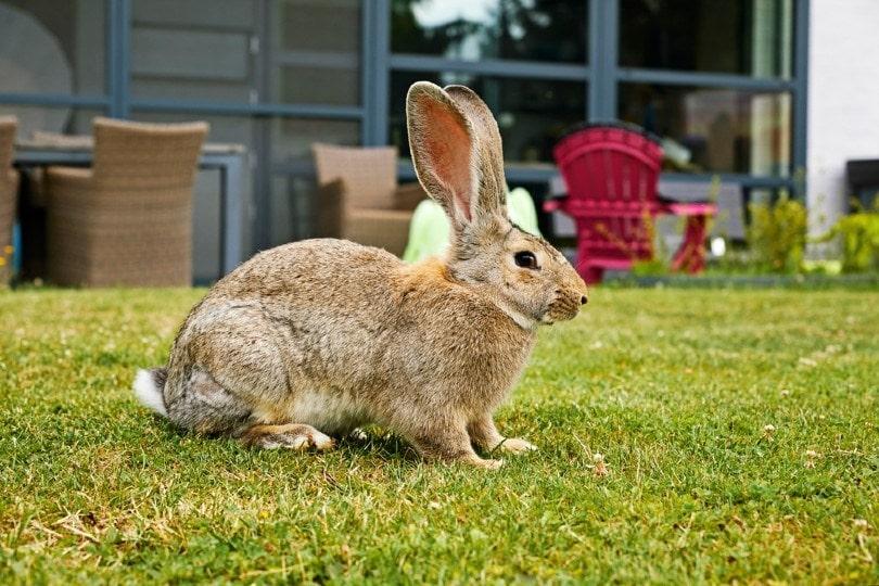 flemish giant rabbit in private garden