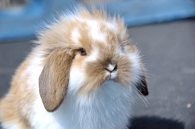 flemish-lop-rabbit-brown-pixabay