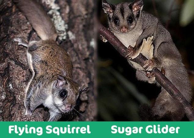 flying squirrel vs sugar glider