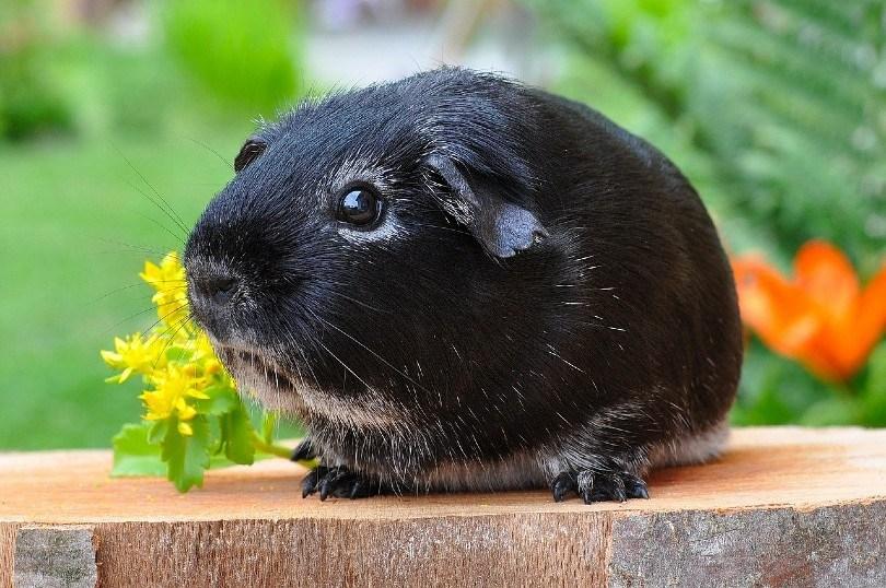 fox guinea pig
