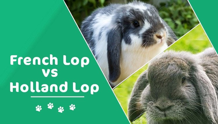 french lop vs holland lop header