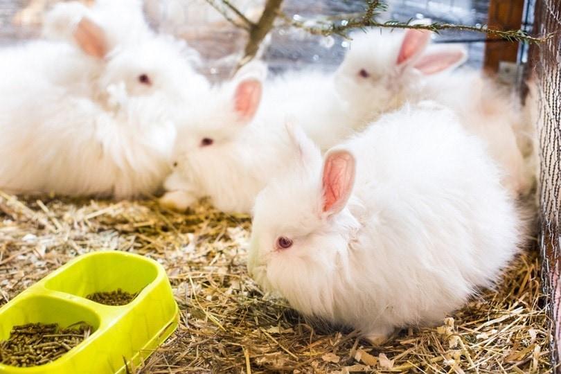 funny-fluffy-Angora-rabbit_Zanna-Pesnina_shutterstock