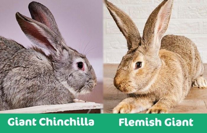 giant chinchilla vs flemish giant