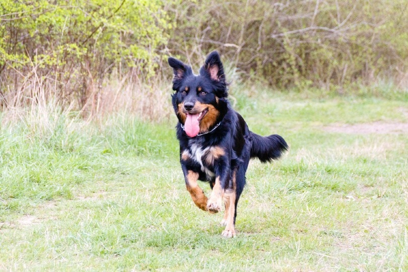 german shepherd and border collie mix breed