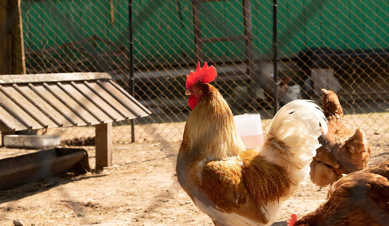 golden phoenix rooster