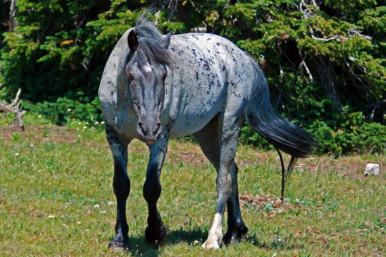 gray grulla stallion stud