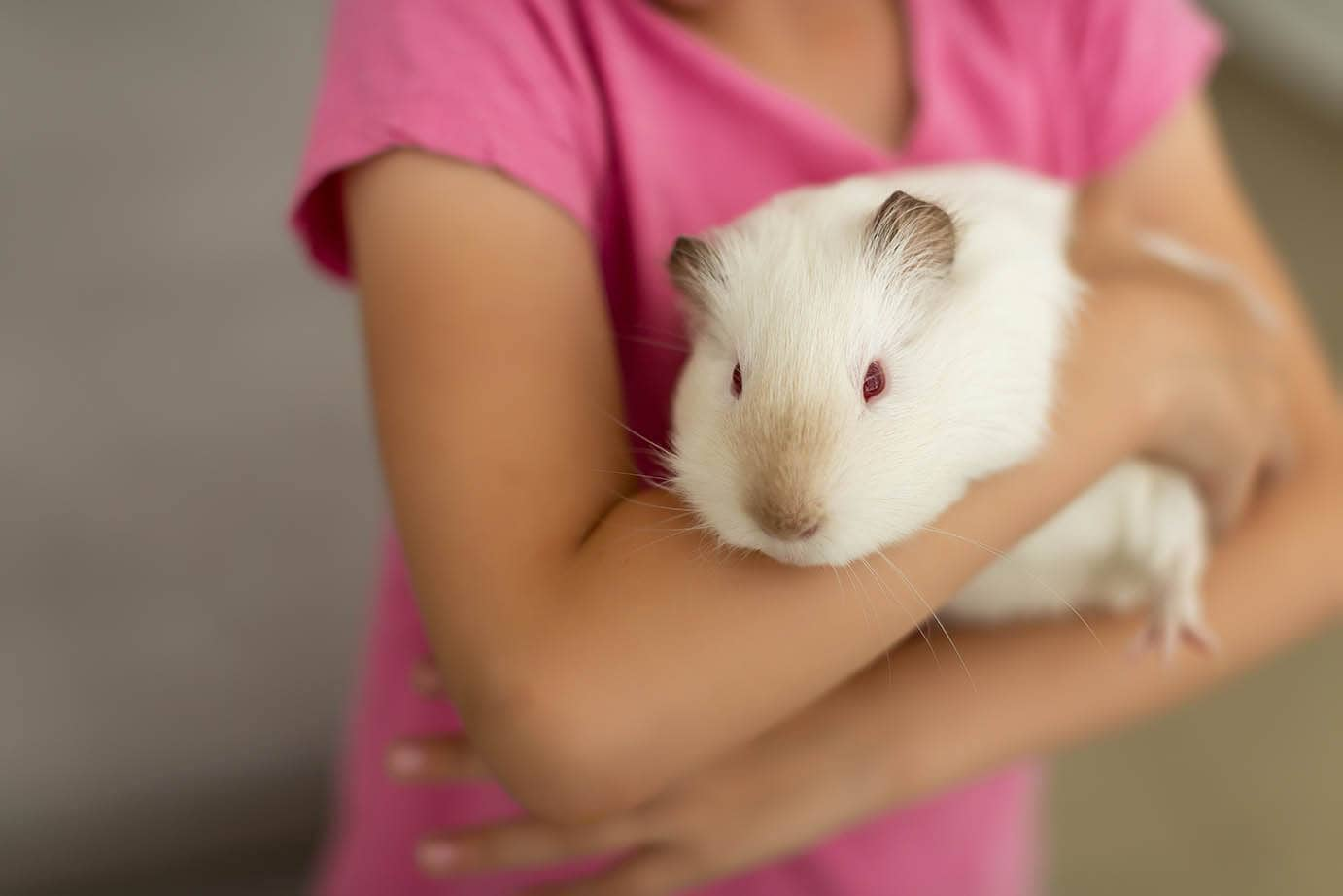 guinea pig in girl's arms