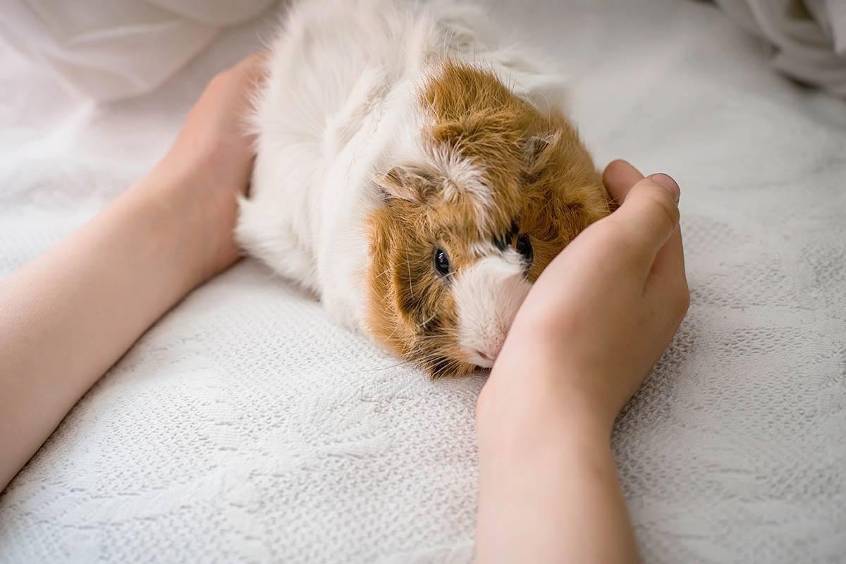 guinea pig_Lipatova Maryna_Shutterstock