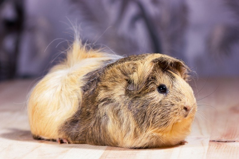 guinea pig on neutral background