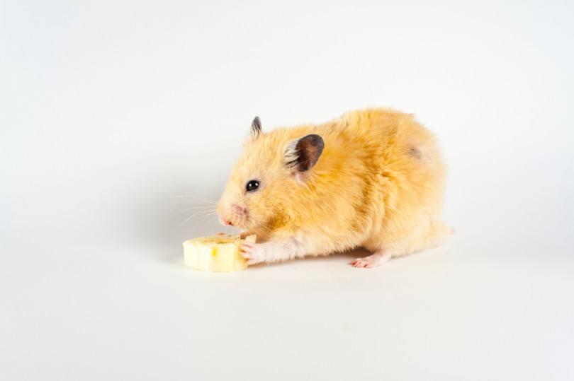 hamster eating banana