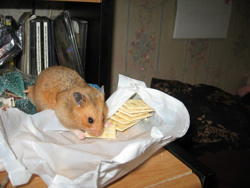 hamster eating crackers