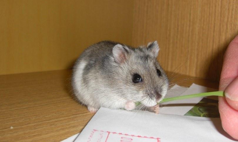 hamster eating grass