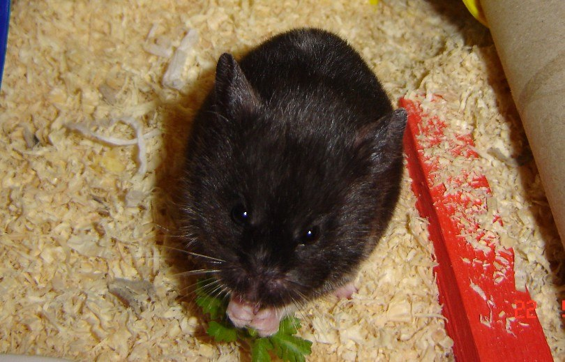 hamster eating parsley