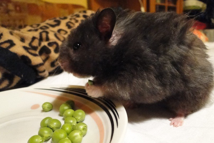 hamster eating peas