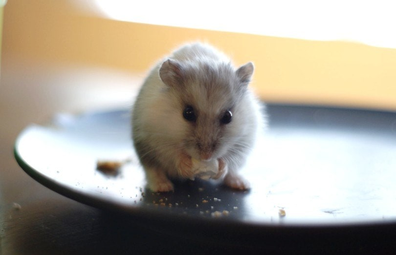 hamster eating popcorn