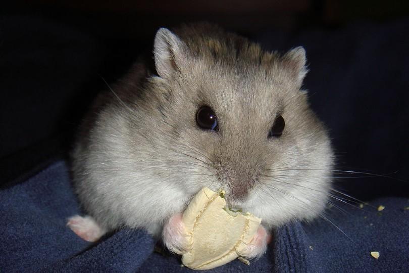 hamster eating pumpkin seed