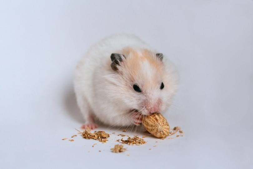 hamster gnaws nut