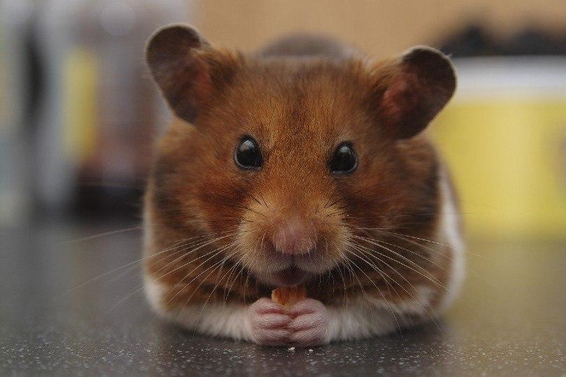 hamster holding food