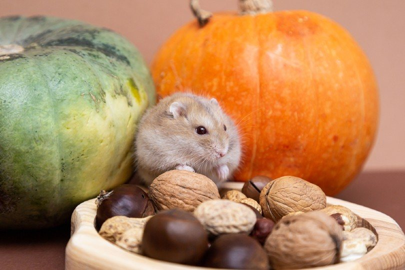 hamster in a plate with various nuts eats