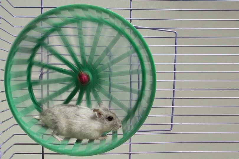 hamster-running-in-the-wheel_PrakapenkaAlena_shutterstock