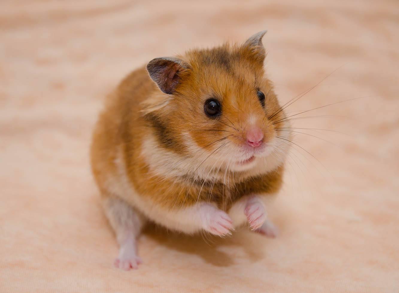 hamster shaking