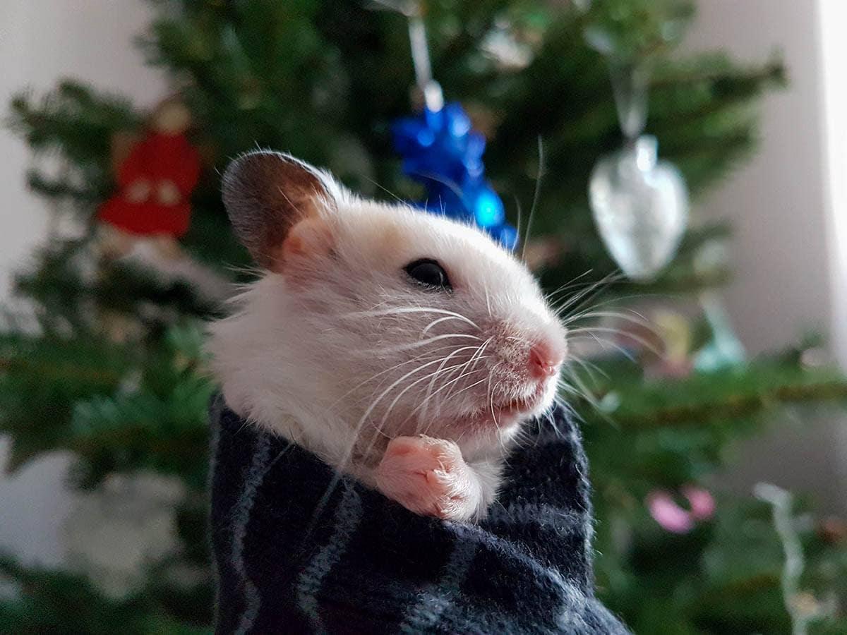 hamster shivers