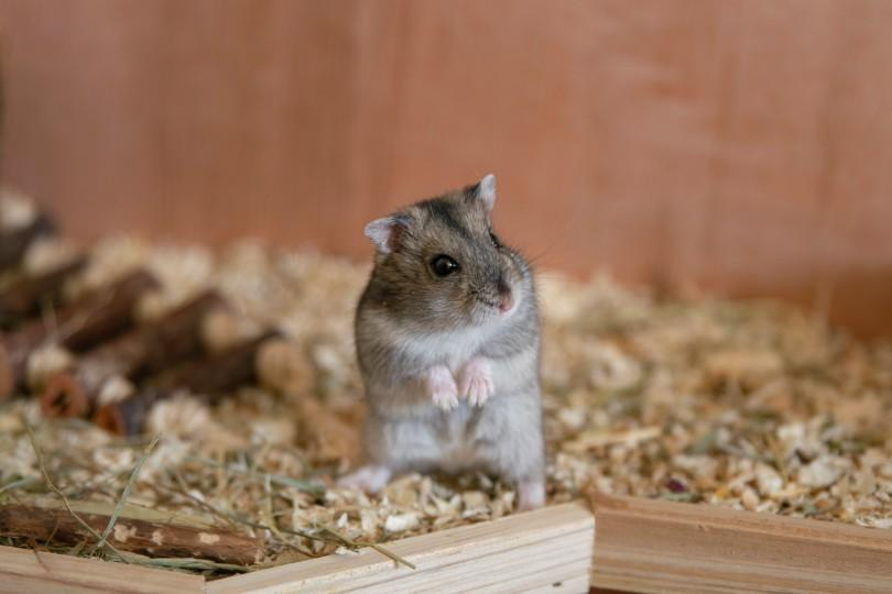 hamster standing on its hind legs