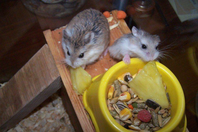 hamsters eating pineapple