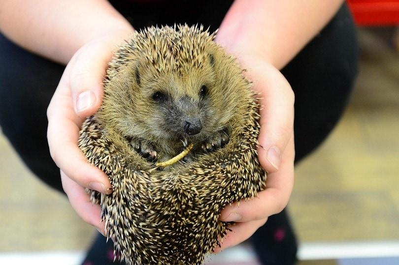 hedgehog_ilegalni, Pixabay