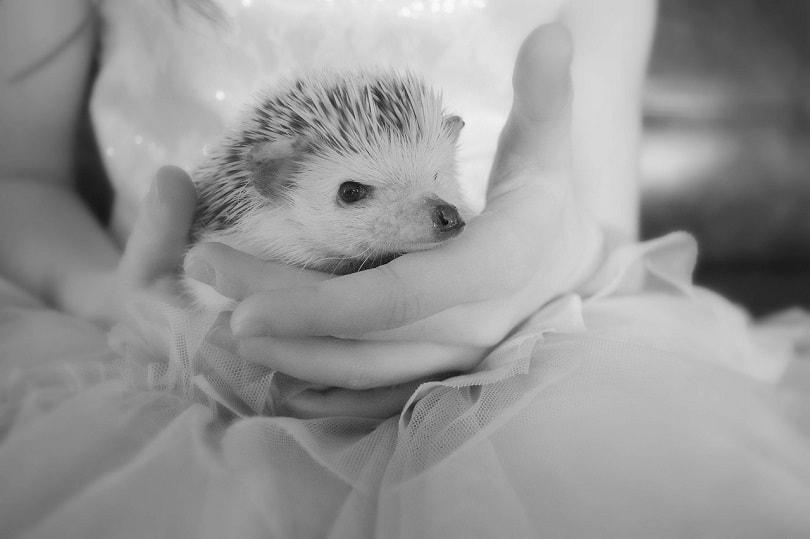 hedgehog-pixabay