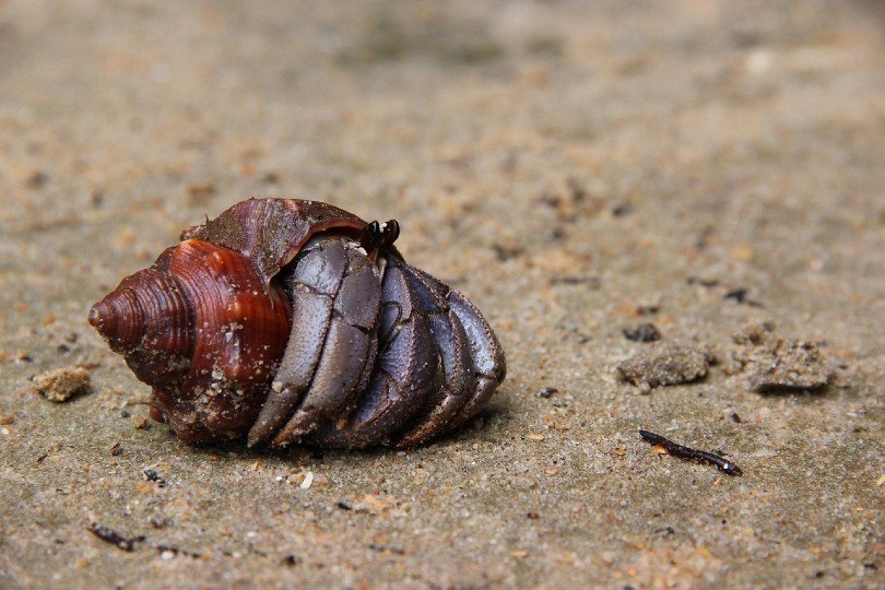 hermit crab crawling out its shell