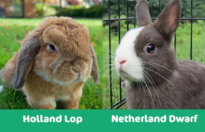 holland lop vs netherland dwarf