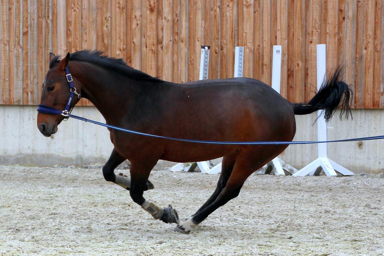 horse lunge training