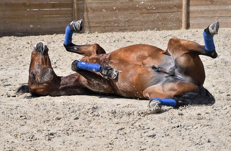 horse-roll-pixabay2