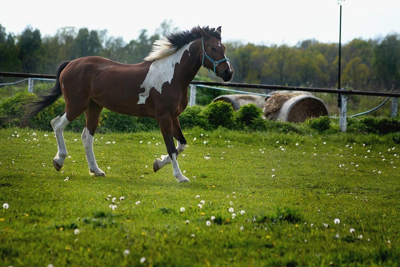 horse running walk