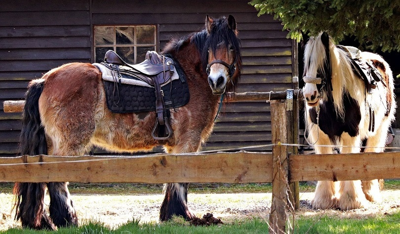 horses-pixabay (2)