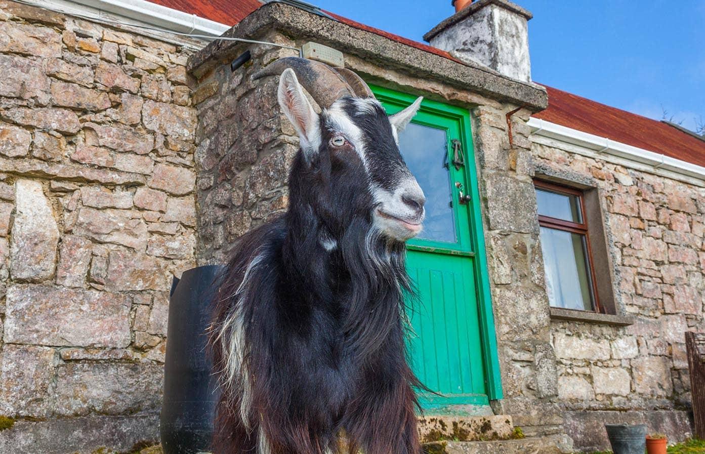 irish mountain goat