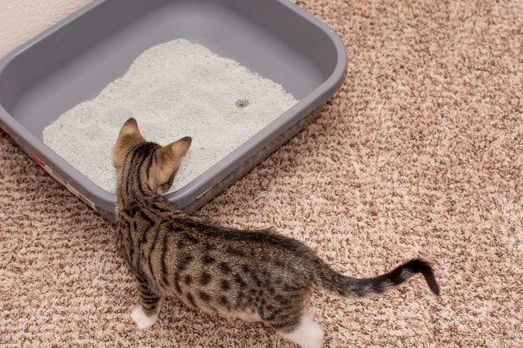 kitten and the litter box