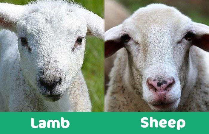 lamb vs sheep visual