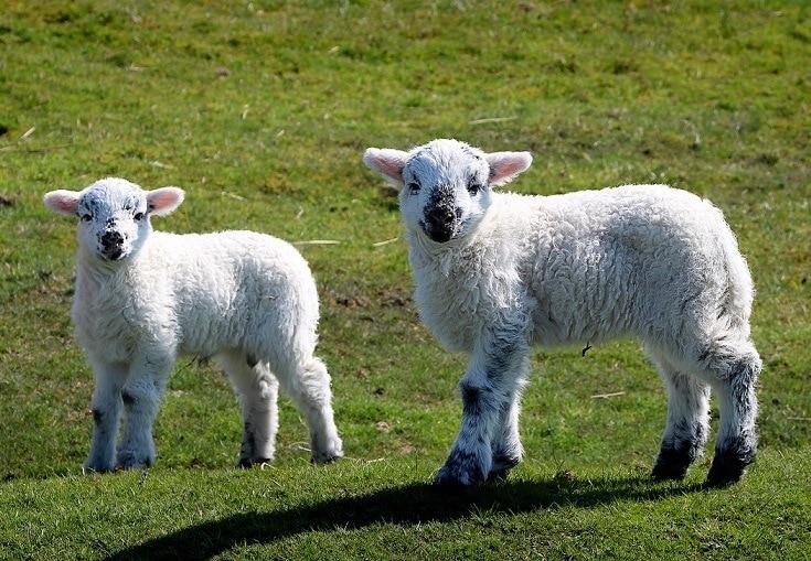 lambs on the field