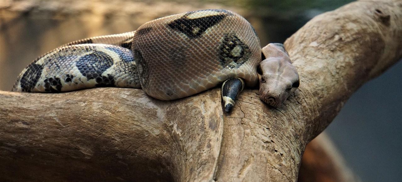 large brown snake