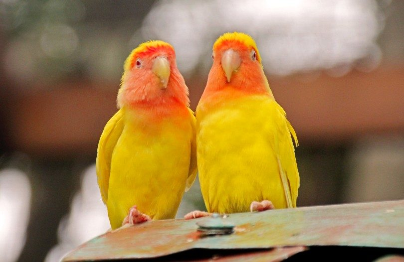 lovebirds in jamaica