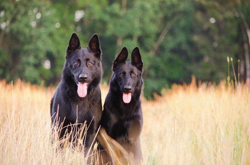 male and female dog in grass
