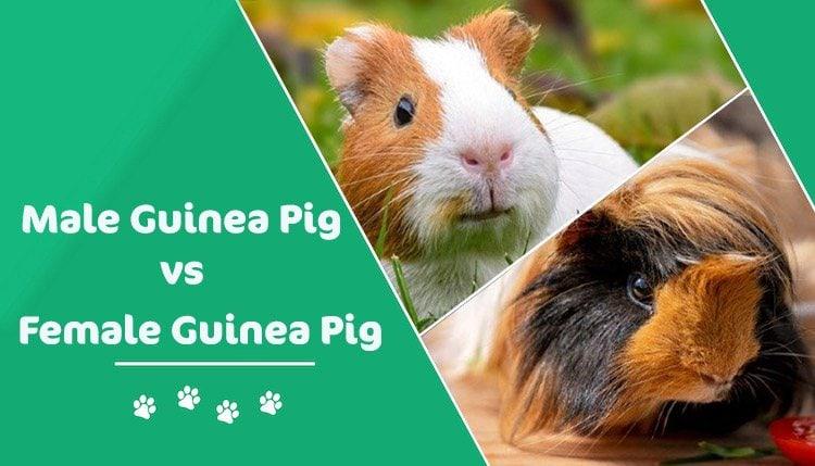 male vs female guinea pig