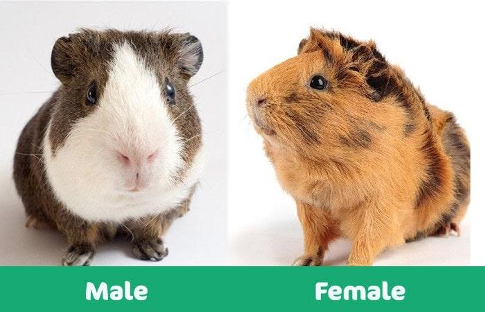 male vs female guinea visual