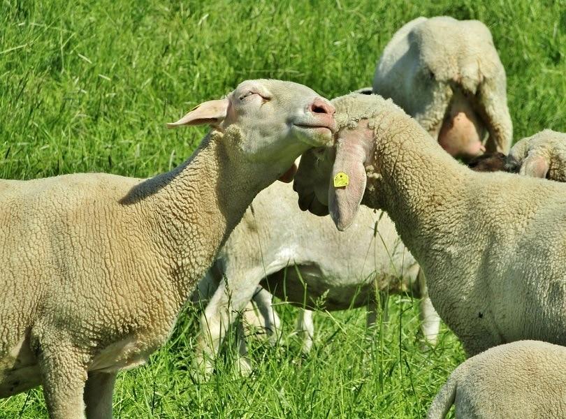 merino wool sheep-pixabay