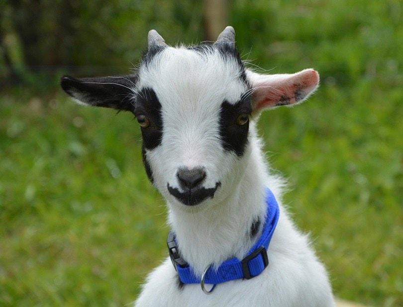miniature goat-pixabay