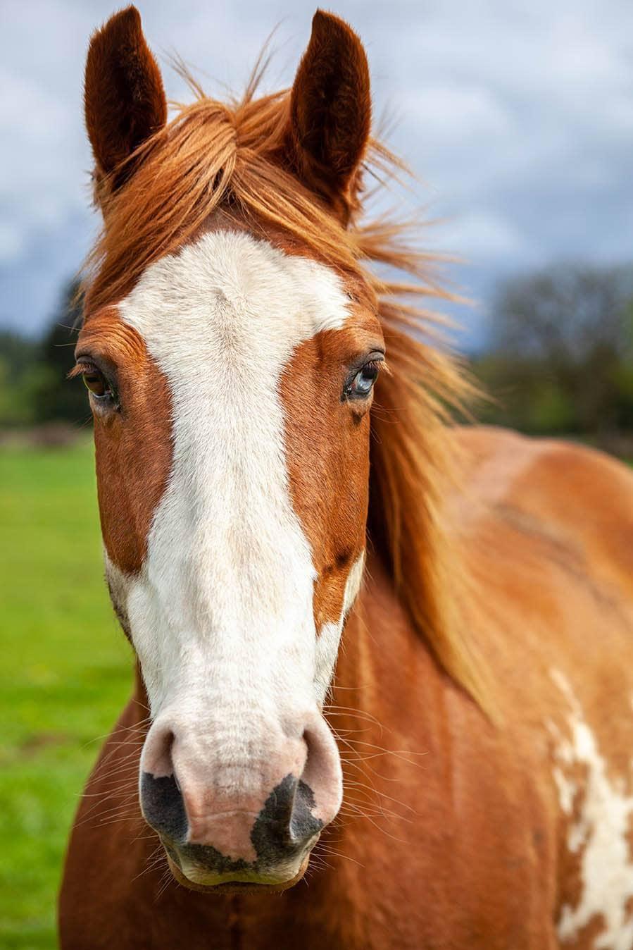 overo horse close up
